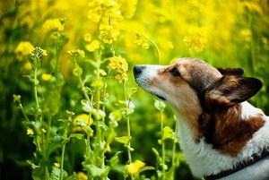 Corgiandflower